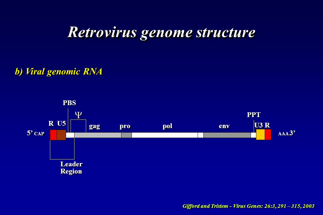 Retrovirus genome structure b) Viral genomic RNA PBS R U5 gag pro pol env PPT U3 R Leader Region Leader Region 5 CAP AAA 3 Gifford and Tristem - Virus