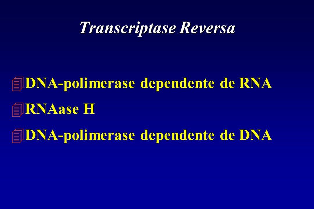 Transcriptase Reversa 4DNA-polimerase dependente de RNA 4RNAase H 4DNA-polimerase dependente de DNA