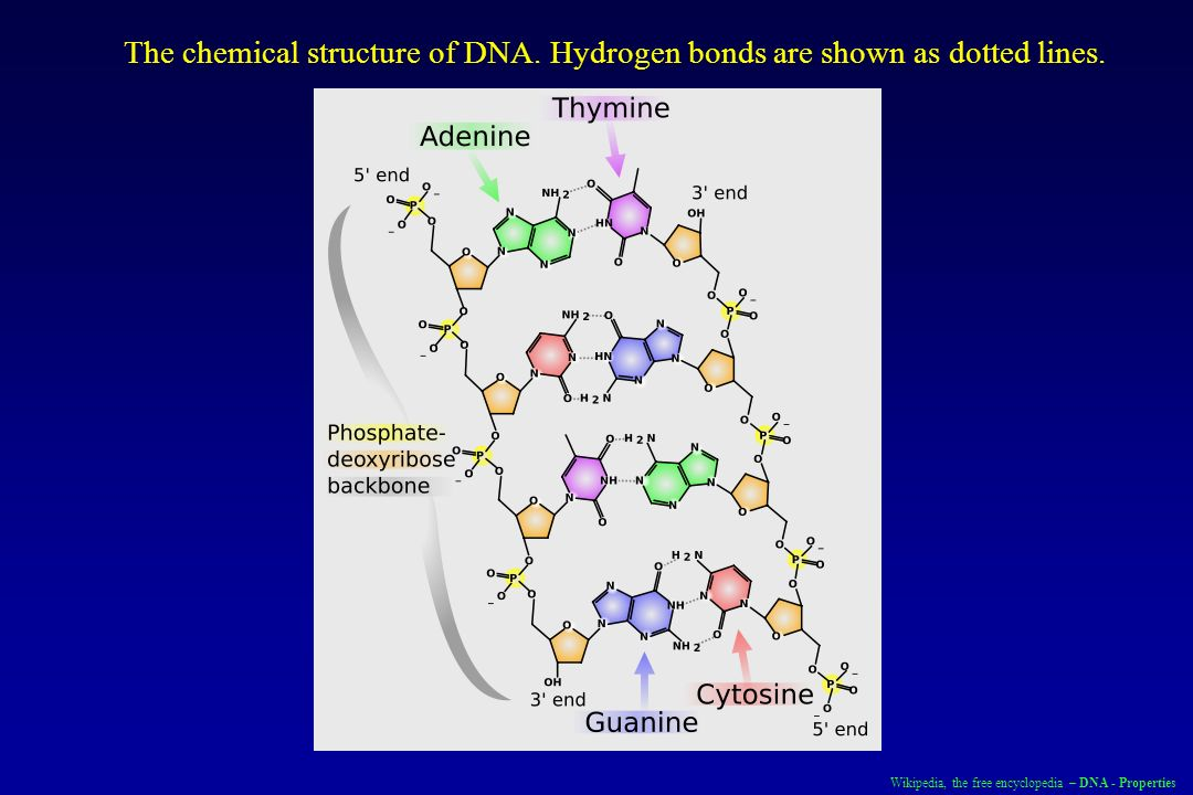 Wikipedia, the free encyclopedia – DNA - Properties The chemical structure of DNA. Hydrogen bonds are shown as dotted lines.