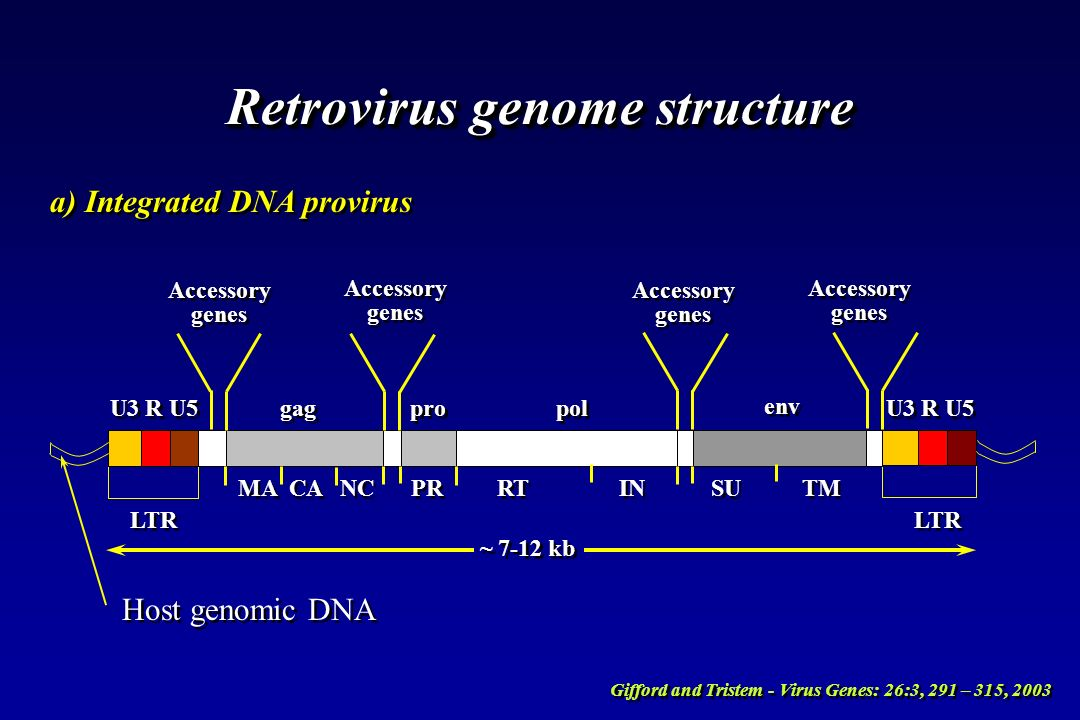 Retrovirus genome structure b) Viral genomic RNA PBS R U5 gag pro pol env PPT U3 R Leader Region Leader Region 5 CAP AAA 3 Gifford and Tristem - Virus Genes: 26:3, 291 – 315, 2003