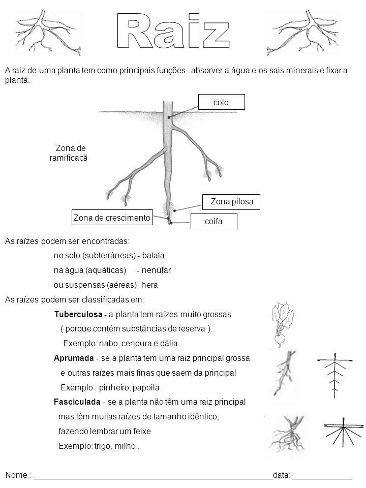 A raiz de uma planta tem como principais funções : absorver a água e os sais minerais e fixar a planta. As raízes podem ser encontradas: no solo (subt