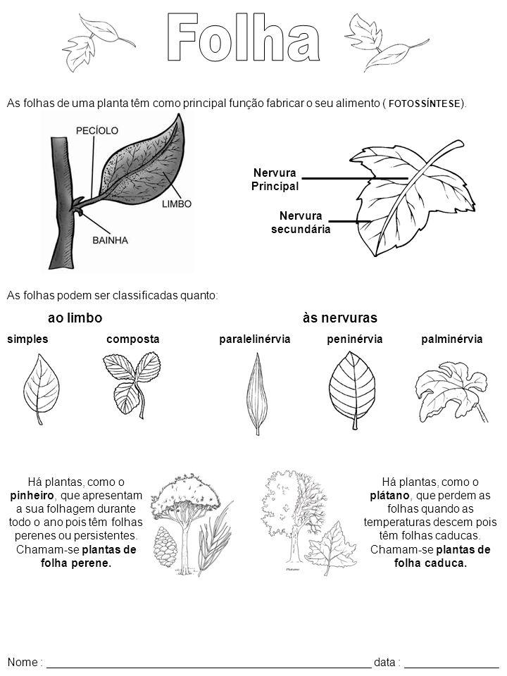 As folhas de uma planta têm como principal função fabricar o seu alimento ( FOTOSSÍNTESE ). Nervura secundária Nervura Principal As folhas podem ser c