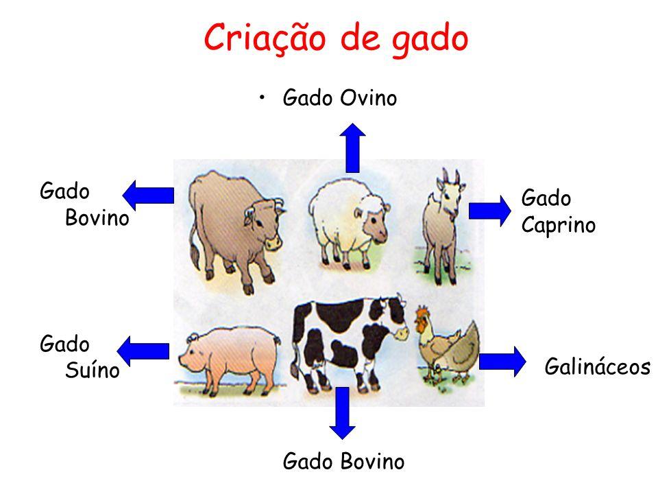 Criação de gado Gado Bovino Gado Suíno Gado Ovino Gado Caprino Galináceos Gado Bovino