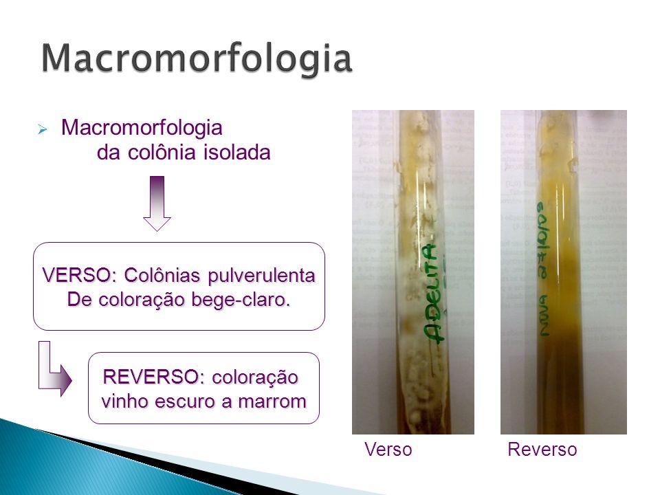 Verso Reverso Macromorfologia da colônia isolada VERSO: Colônias pulverulenta De coloração bege-claro. REVERSO: coloração vinho escuro a marrom