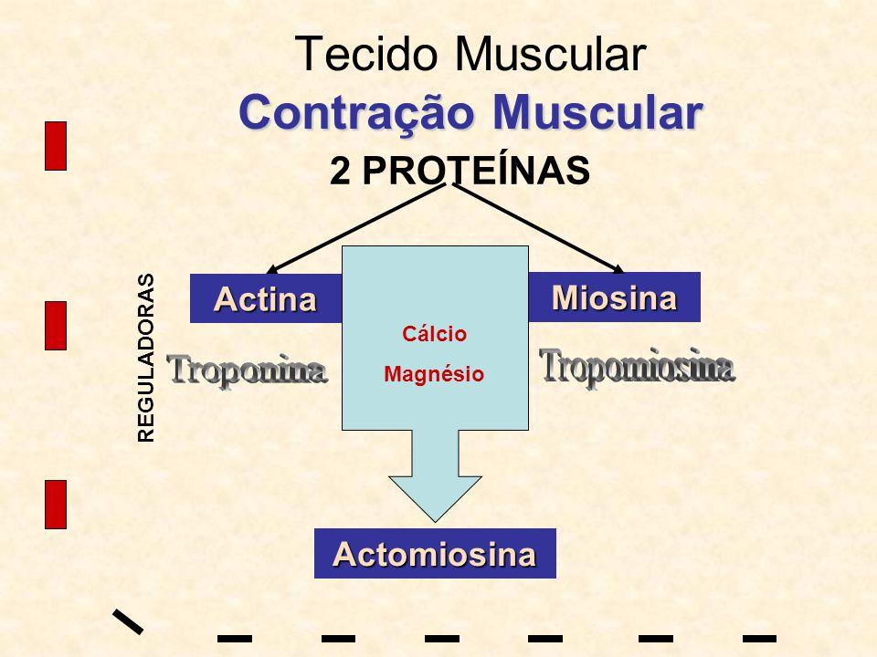 Contração Muscular Tecido Muscular Contração Muscular 2 PROTEÍNAS Actina Miosina Actomiosina REGULADORAS Cálcio Magnésio