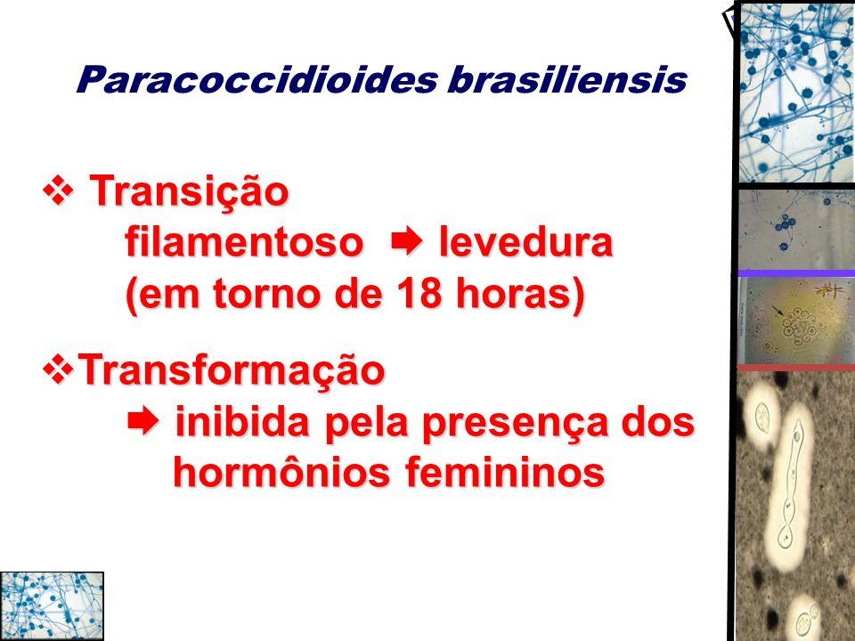 Paracoccidioides brasiliensis Transição filamentoso levedura (em torno de 18 horas) Transição filamentoso levedura (em torno de 18 horas) Transformaçã