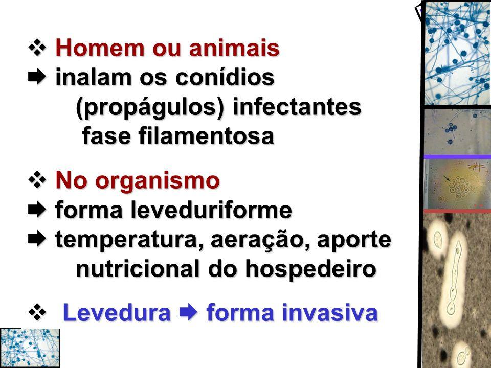 Homem ou animais inalam os conídios (propágulos) infectantes fase filamentosa Homem ou animais inalam os conídios (propágulos) infectantes fase filame