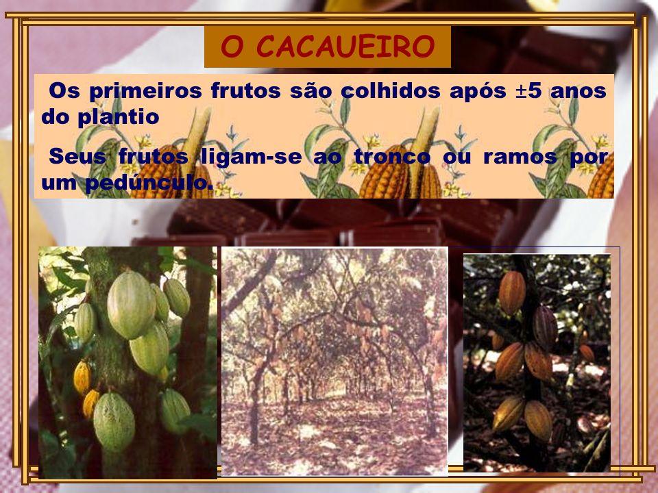 Os primeiros frutos são colhidos após ±5 anos do plantio Seus frutos ligam-se ao tronco ou ramos por um pedúnculo. O CACAUEIRO