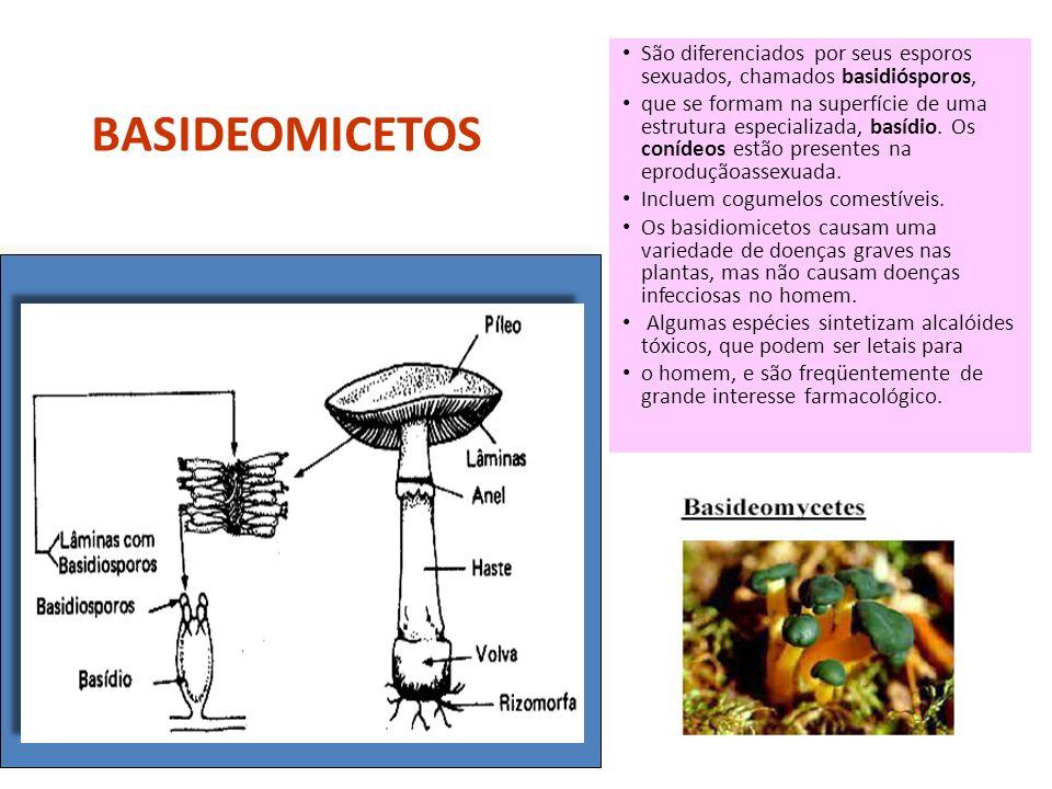 Profa. Denise Esteves Moritz BASIDEOMICETOS São diferenciados por seus esporos sexuados, chamados basidiósporos, que se formam na superfície de uma es