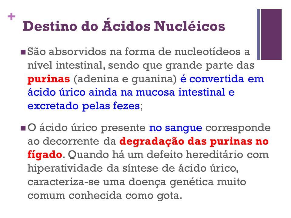 + Destino do Ácidos Nucléicos São absorvidos na forma de nucleotídeos a nível intestinal, sendo que grande parte das purinas (adenina e guanina) é con