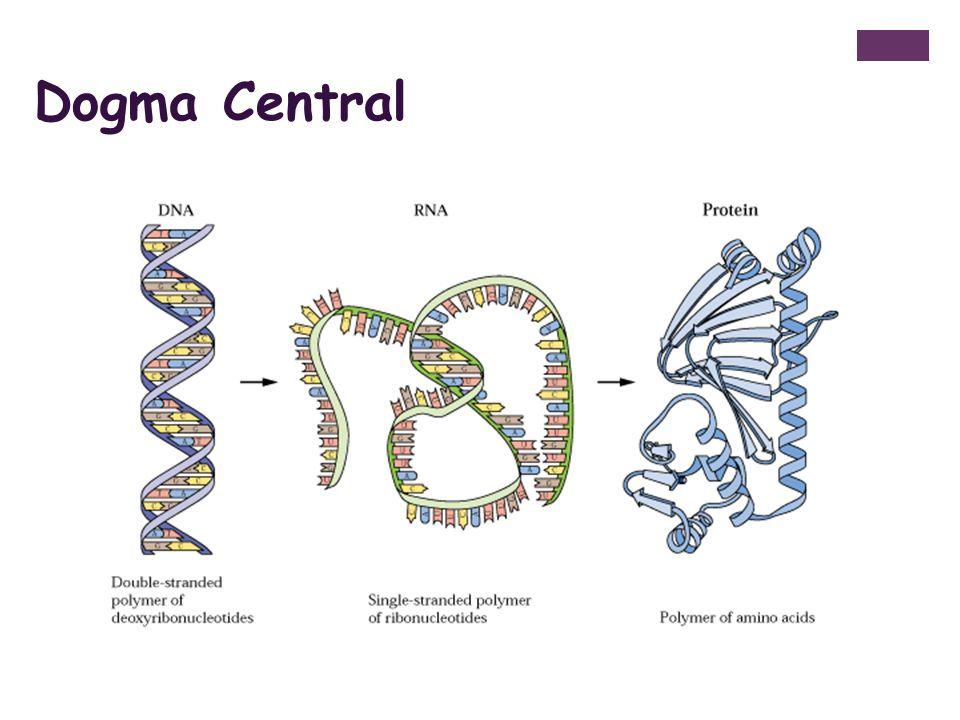 + - Após adição de um nucleotídeo, a DNA polimerase se dissocia ou se move ao longo do molde para adicionar um outro nucleotídeo; DNA ligase: no final da síntese, a polimerase remove os iniciadores e os substitui por nucleotídeos de DNA Æ cortes selados pela DNA ligase.