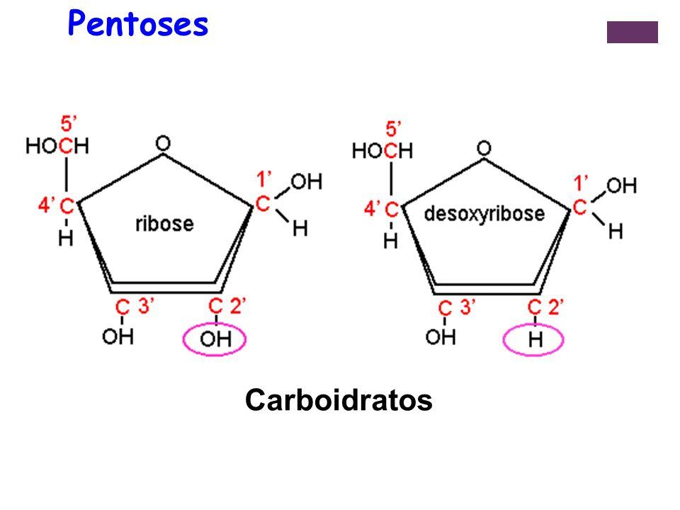 + O Fosfato: Adição de um ou mais radicais fosfato à pentose, através de ligação éster origina os Nucleotídeos; Os grupos fosfato são responsáveis pelas cargas negativas dos nucleotídeos e dos ácidos nucléicos; A adição do segundo ou terceiro grupo fosfato ocorre em seqüência, dando origem aos nucleotídeos di e trifosfatados.