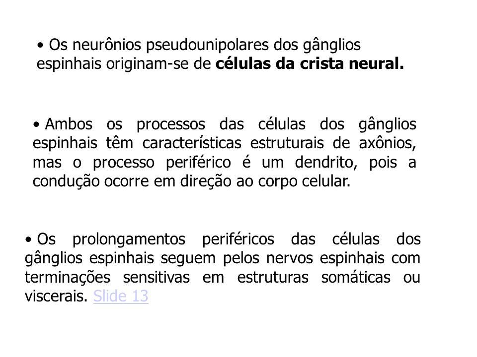 Os neurônios pseudounipolares dos gânglios espinhais originam-se de células da crista neural. Ambos os processos das células dos gânglios espinhais tê