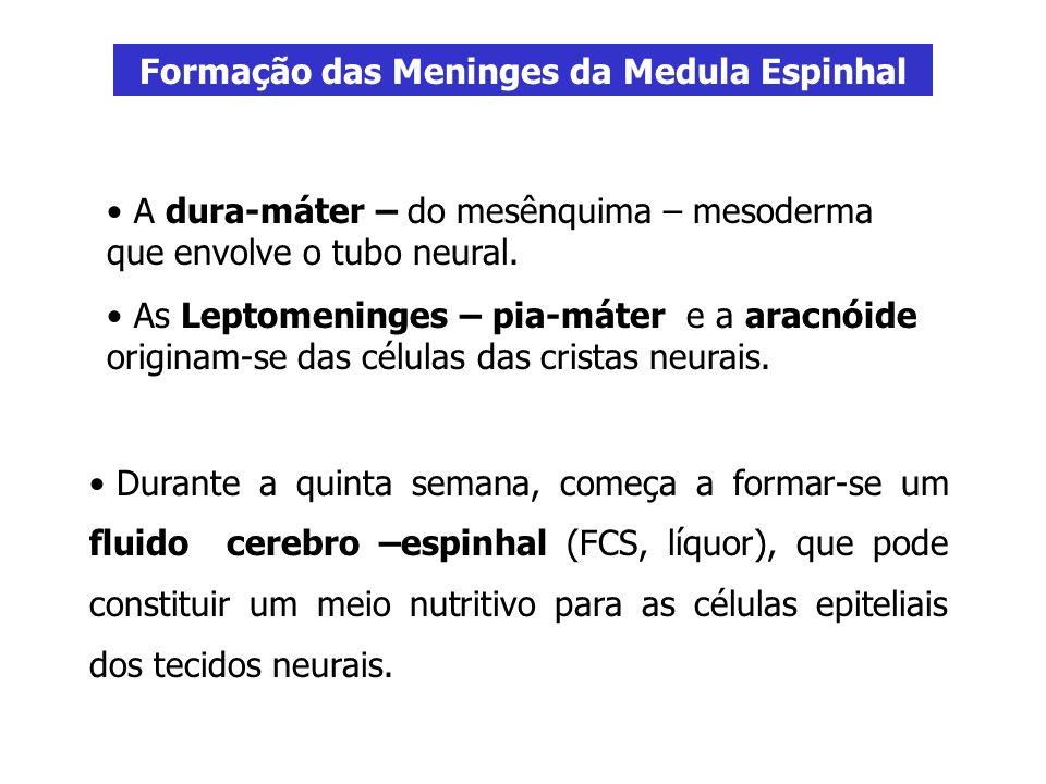 Formação das Meninges da Medula Espinhal A dura-máter – do mesênquima – mesoderma que envolve o tubo neural. As Leptomeninges – pia-máter e a aracnóid