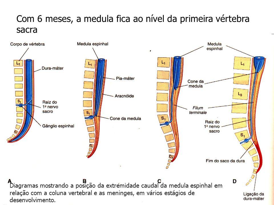Com 6 meses, a medula fica ao nível da primeira vértebra sacra Diagramas mostrando a posição da extremidade caudal da medula espinhal em relação com a