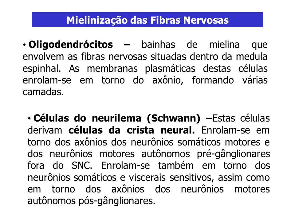 Mielinização das Fibras Nervosas Oligodendrócitos – bainhas de mielina que envolvem as fibras nervosas situadas dentro da medula espinhal. As membrana