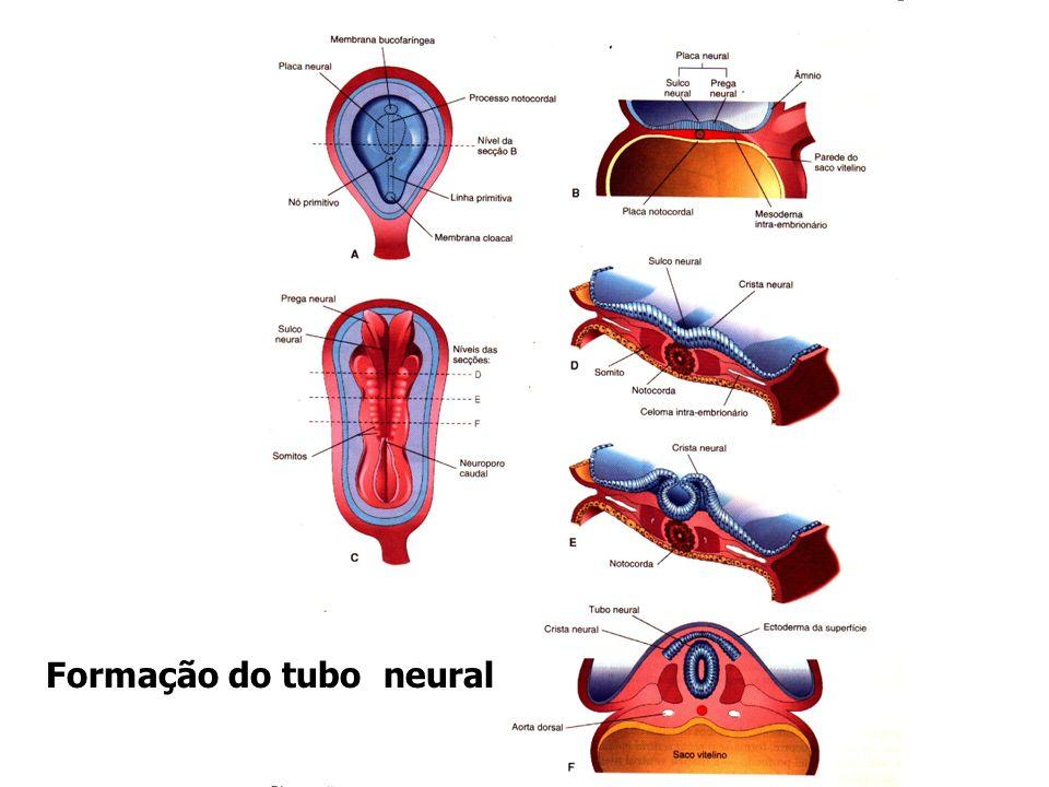 O Tubo neural – Se diferencia em SNC, que consiste em encéfalo e Medula espinal A Crista neural – dá origem às células formadoras da maior parte do SNP e SNA, constituídos pelos gânglios cranianos, espinhais e autônomos.