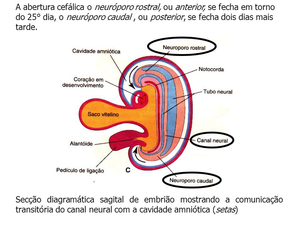 As paredes do tubo neural se espessam, formando o encéfalo e a medula espinhal.