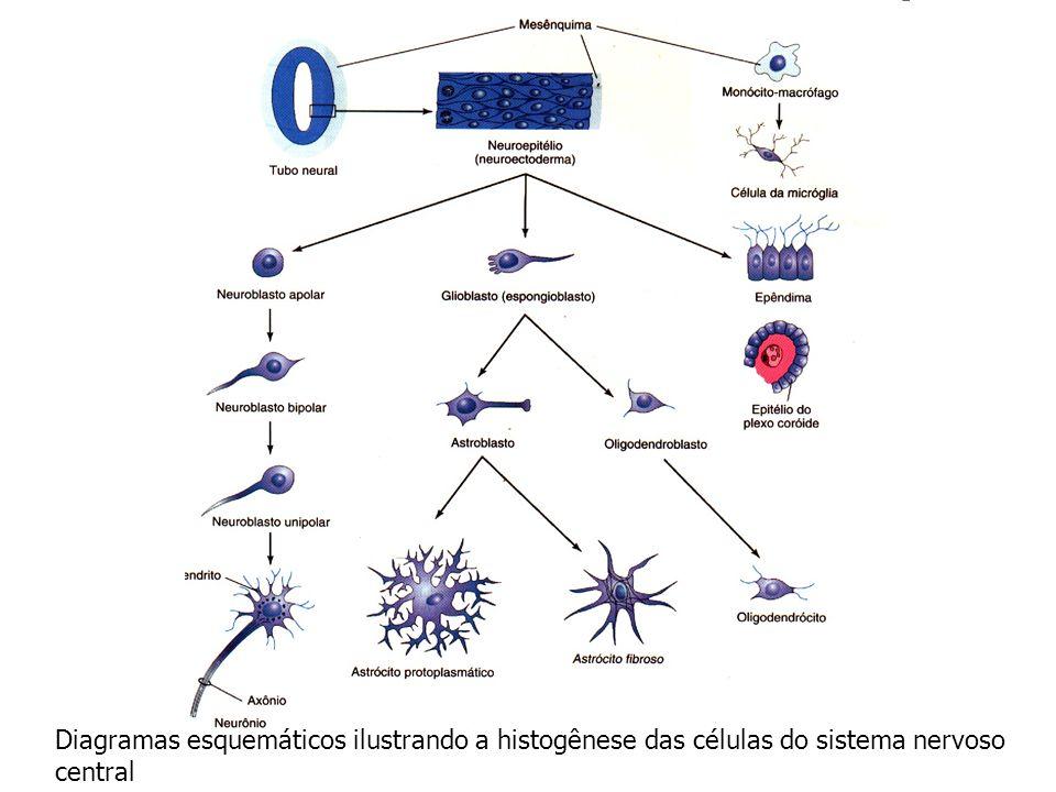 Mielinização das Fibras Nervosas Oligodendrócitos – bainhas de mielina que envolvem as fibras nervosas situadas dentro da medula espinhal.