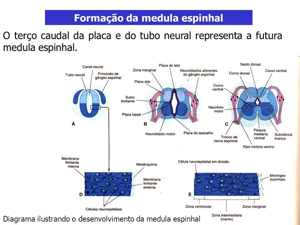 Formação da medula espinhal O terço caudal da placa e do tubo neural representa a futura medula espinhal. Diagrama ilustrando o desenvolvimento da med