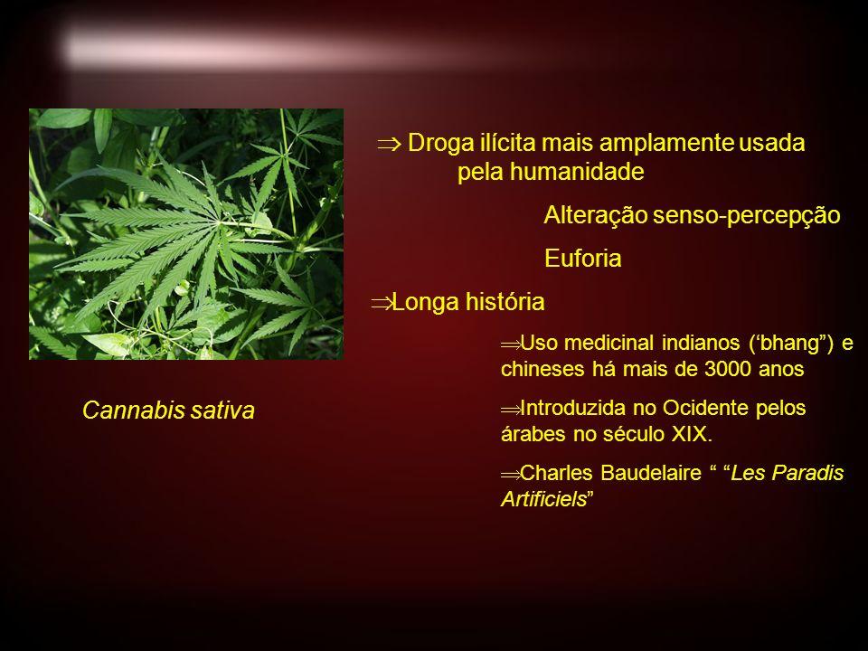 Cannabis sativa Droga ilícita mais amplamente usada pela humanidade Alteração senso-percepção Euforia Longa história Uso medicinal indianos (bhang) e chineses há mais de 3000 anos Introduzida no Ocidente pelos árabes no século XIX.