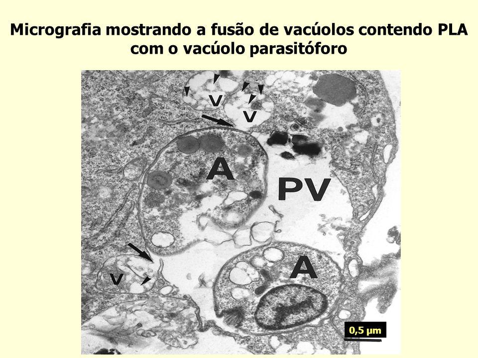 Atividade da DMC encapsulada em PLA no desenvolvimento das lesões Lesão (mm) Dias após o tratamento Não tratado Nanoesferas vazias (PLA) DMC-PLA Glucantime p < 0,05
