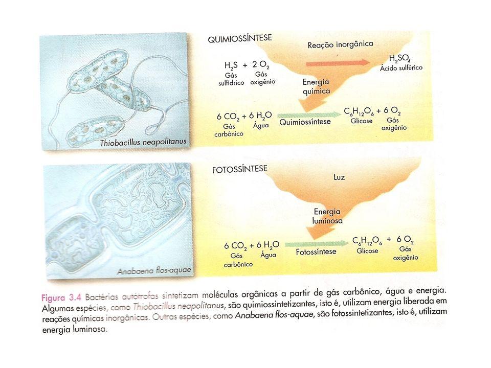 EUBACTÉRIAS HETERÓTROFAS Grande parte das eubactérias apresentam esse tipo de nutrição Elas extraem energia das moléculas de alimento através de três tipos de processos: Respiração aeróbica, respiração anaeróbica ou fermentação Respiração aeróbica (do grego aer, ar) Obtenção de energia de moléculas orgânicas (açúcares, gorduras, etc) com a participação do gás oxigênio (O 2 )