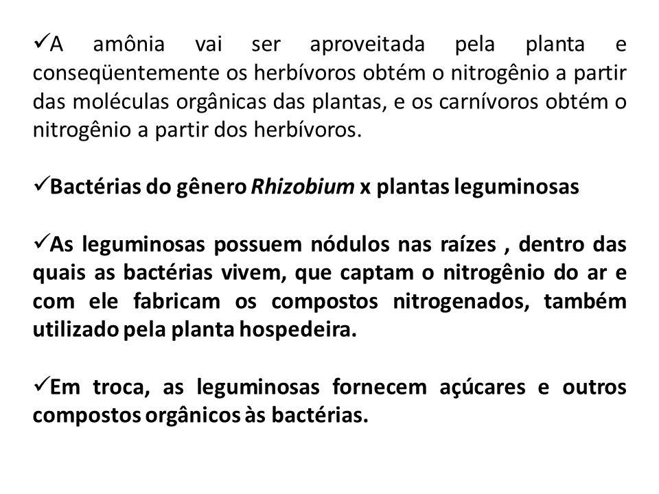 A amônia vai ser aproveitada pela planta e conseqüentemente os herbívoros obtém o nitrogênio a partir das moléculas orgânicas das plantas, e os carnív