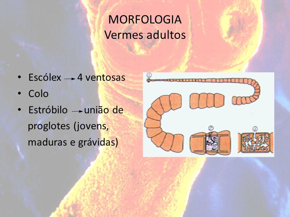 MORFOLOGIA Vermes adultos Escólex 4 ventosas Colo Estróbilo união de proglotes (jovens, maduras e grávidas)