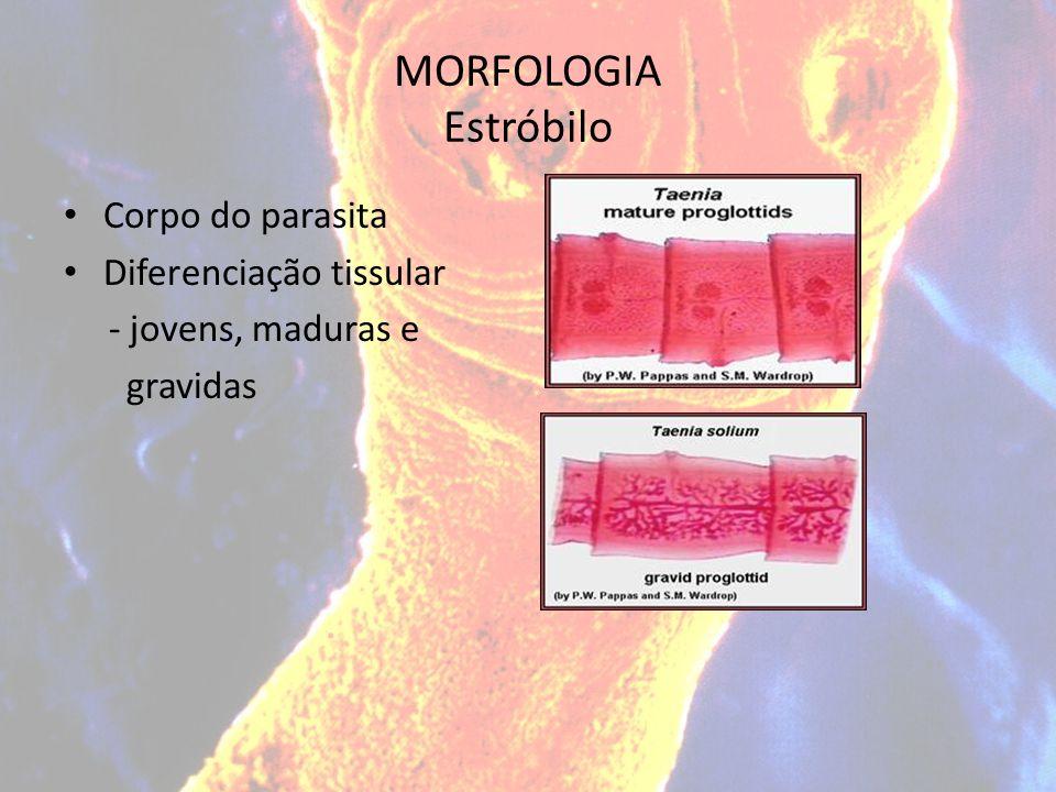 MORFOLOGIA Estróbilo Corpo do parasita Diferenciação tissular - jovens, maduras e gravidas