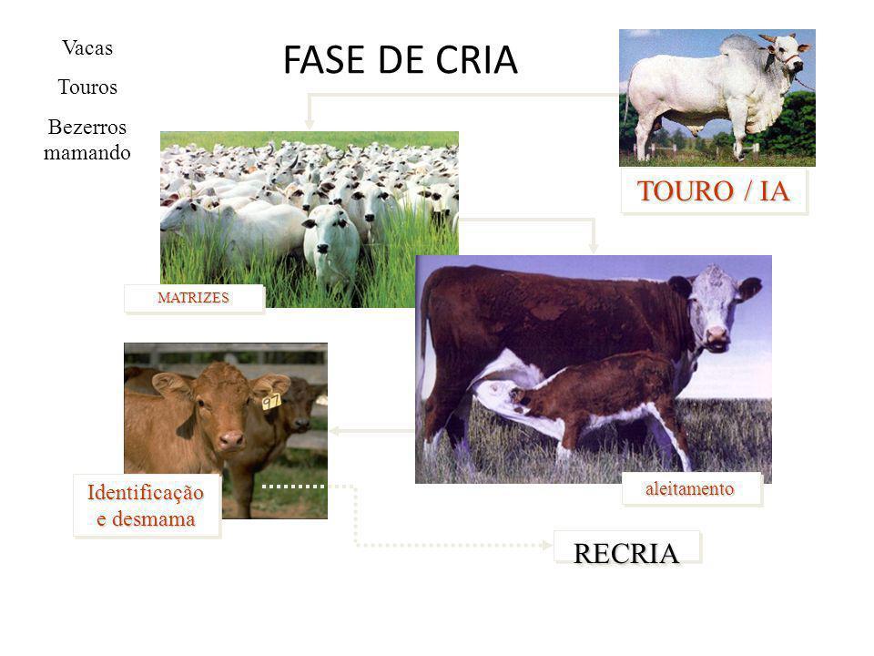 FASE DE CRIA Vacas Touros Bezerros mamando MATRIZESMATRIZES Identificação e desmama RECRIARECRIA aleitamentoaleitamento TOURO / IA