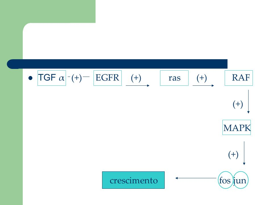 TGF α (+) EGFR (+) ras (+) RAF (+) MAPK (+) crescimento fos jun
