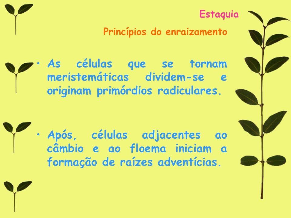 Estaquia Princípios do enraizamento As células que se tornam meristemáticas dividem-se e originam primórdios radiculares. Após, células adjacentes ao