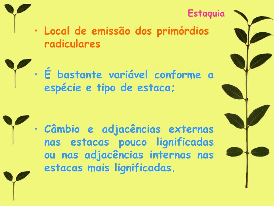 Estaquia Local de emissão dos primórdios radiculares É bastante variável conforme a espécie e tipo de estaca; Câmbio e adjacências externas nas estaca