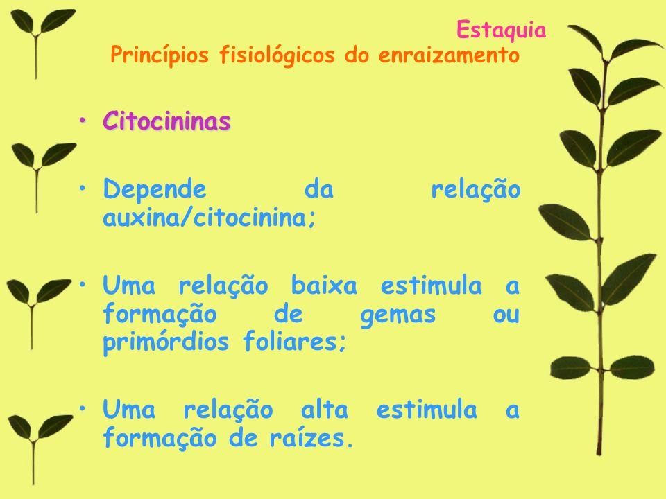 Estaquia Princípios fisiológicos do enraizamento CitocininasCitocininas Depende da relação auxina/citocinina; Uma relação baixa estimula a formação de