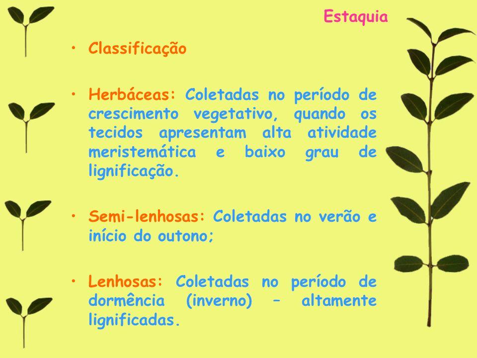 Estaquia Classificação Herbáceas: Coletadas no período de crescimento vegetativo, quando os tecidos apresentam alta atividade meristemática e baixo gr