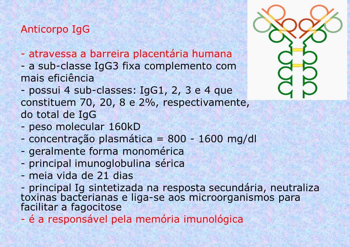 Anticorpo IgG - atravessa a barreira placentária humana - a sub-classe IgG3 fixa complemento com mais eficiência - possui 4 sub-classes: IgG1, 2, 3 e 4 que constituem 70, 20, 8 e 2%, respectivamente, do total de IgG - peso molecular 160kD - concentração plasmática = 800 - 1600 mg/dl - geralmente forma monomérica - principal imunoglobulina sérica - meia vida de 21 dias - principal Ig sintetizada na resposta secundária, neutraliza toxinas bacterianas e liga-se aos microorganismos para facilitar a fagocitose - é a responsável pela memória imunológica