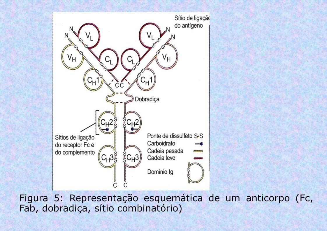 Figura 5: Representação esquemática de um anticorpo (Fc, Fab, dobradiça, sítio combinatório)