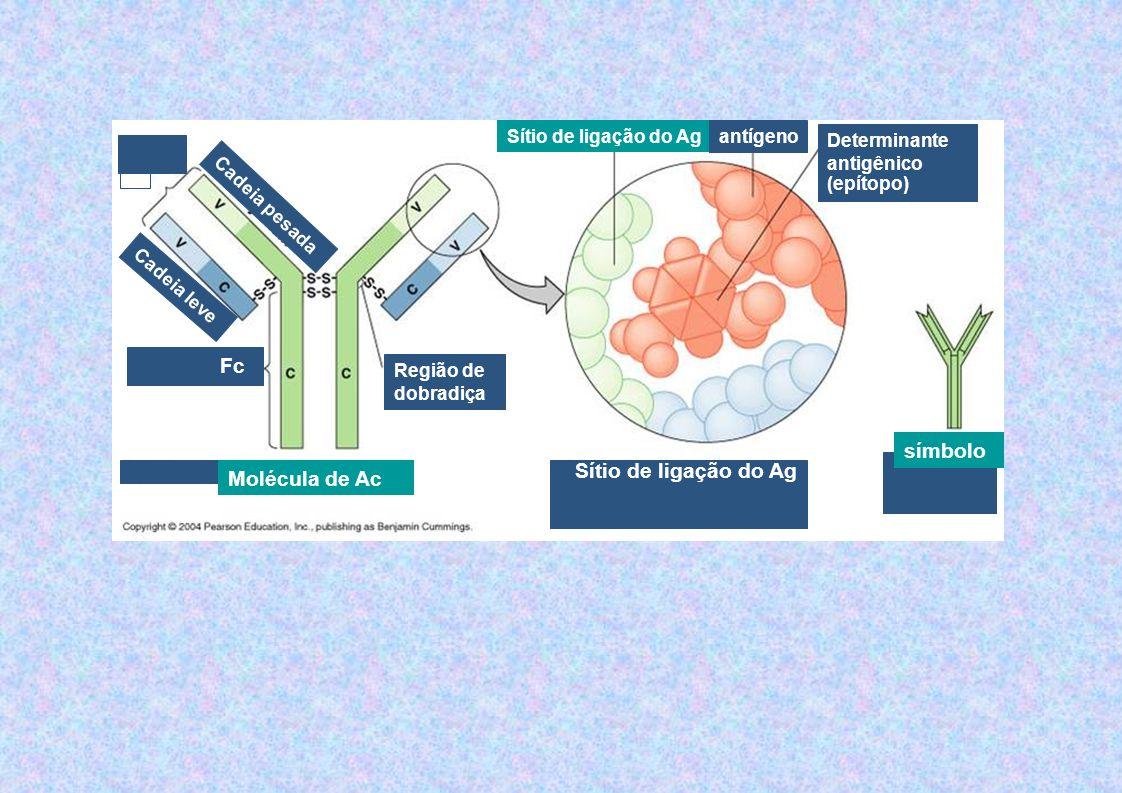 Constituição básica IgG: - duas cadeias polipeptídicas leves (L) e duas pesadas (H) idênticas - cadeias H (pesadas): existem 5 tipos, cada uma dando origem a uma classe de imunoglobulina (IgG, A, M, D, E) - Cadeia Leve (L light) - Porção amino terminal - Porção carboxi terminal - porção amino terminal: variabilidade de aminoácidos região variável (VH e VL) / região hipervariável, onde se encontra o sítio combinatório - restante da cadeia é constante região constante (CH e CL) H e L ligadas através de pontes dissulfídicas, na região V e C aproximam os aminoácidos formando dobramentos chamados de domínios (ligações dissulfídicas – ligação SS intracadeia) onde: C=constante e V=variável
