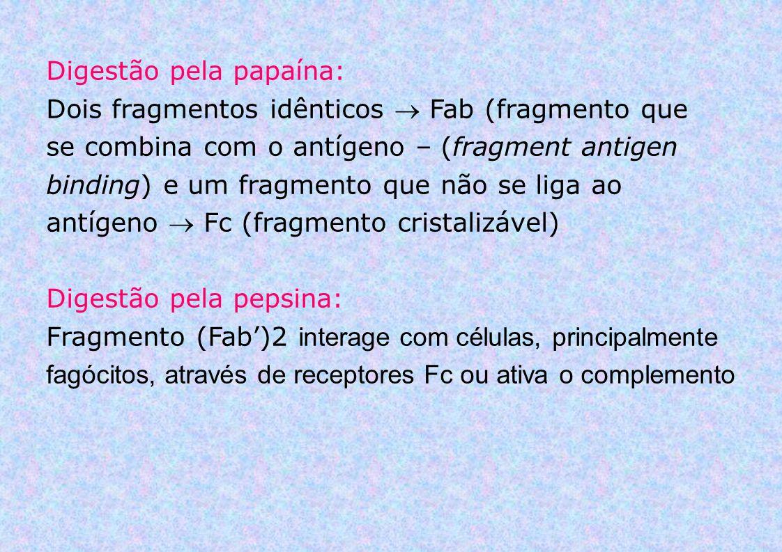 Digestão pela papaína: Dois fragmentos idênticos Fab (fragmento que se combina com o antígeno – (fragment antigen binding) e um fragmento que não se l