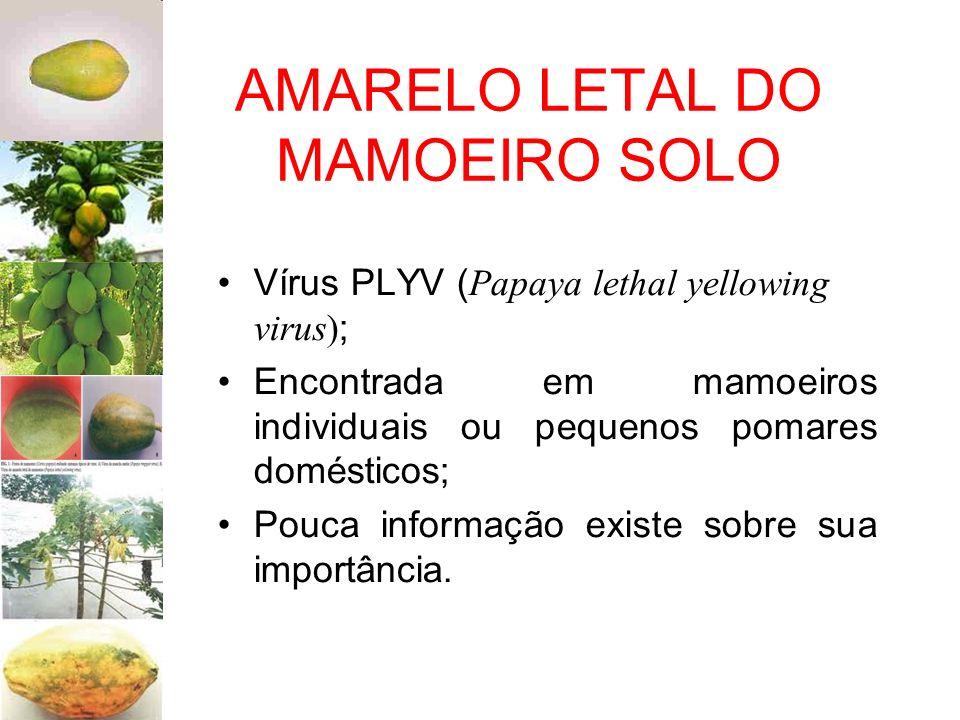 AMARELO LETAL DO MAMOEIRO SOLO Vírus PLYV ( Papaya lethal yellowing virus) ; Encontrada em mamoeiros individuais ou pequenos pomares domésticos; Pouca