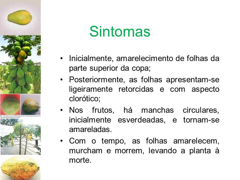 Sintomas Inicialmente, amarelecimento de folhas da parte superior da copa; Posteriormente, as folhas apresentam-se ligeiramente retorcidas e com aspec