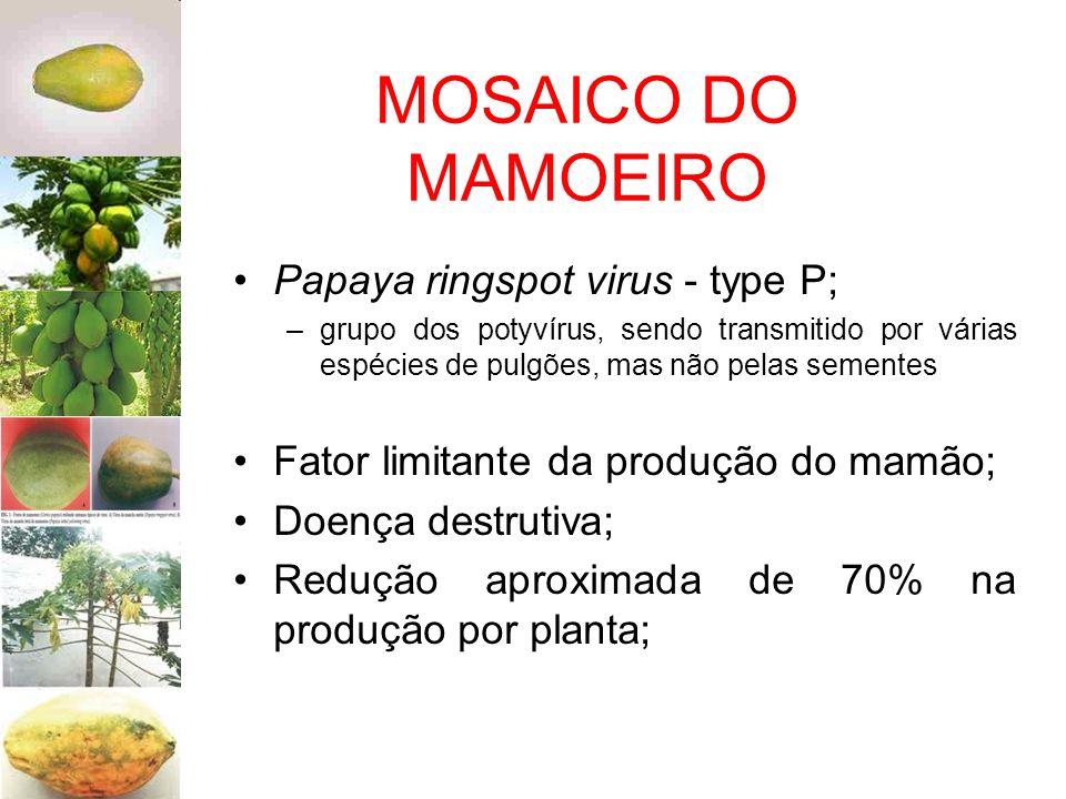 MOSAICO DO MAMOEIRO Papaya ringspot virus - type P; –grupo dos potyvírus, sendo transmitido por várias espécies de pulgões, mas não pelas sementes Fat