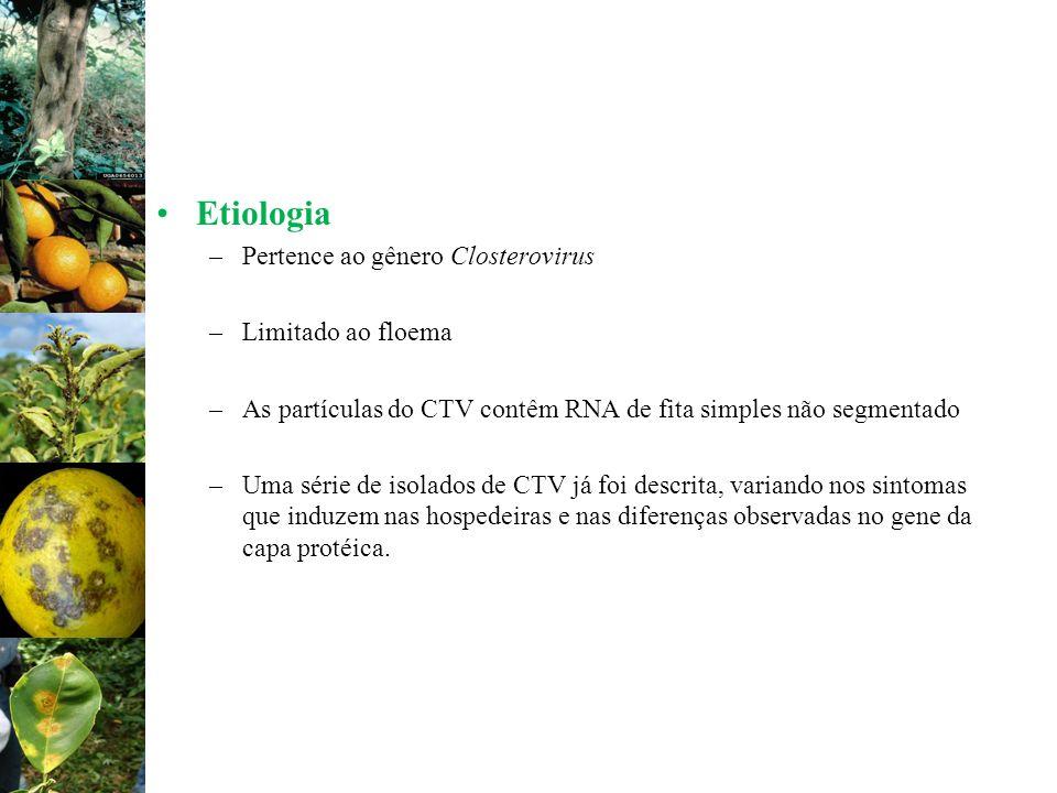 Etiologia –Pertence ao gênero Closterovirus –Limitado ao floema –As partículas do CTV contêm RNA de fita simples não segmentado –Uma série de isolados
