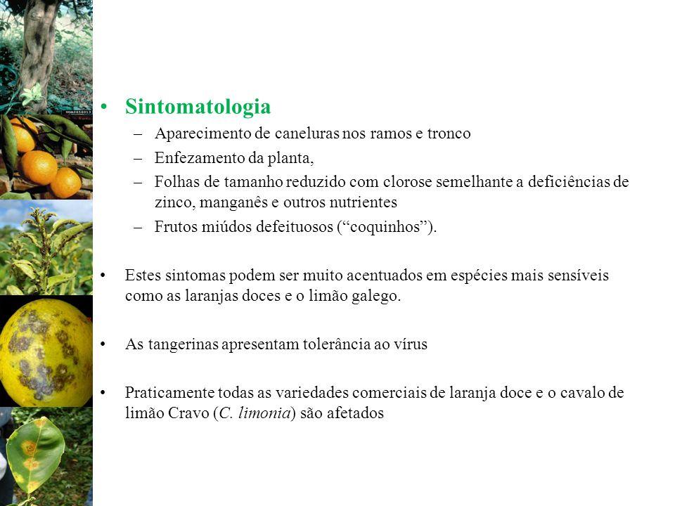Sintomatologia –Aparecimento de caneluras nos ramos e tronco –Enfezamento da planta, –Folhas de tamanho reduzido com clorose semelhante a deficiências