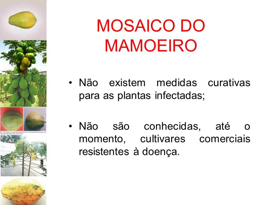MOSAICO DO MAMOEIRO Não existem medidas curativas para as plantas infectadas; Não são conhecidas, até o momento, cultivares comerciais resistentes à d