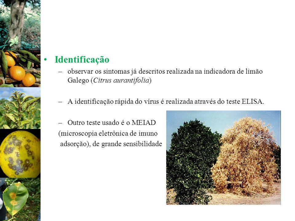 Identificação –observar os sintomas já descritos realizada na indicadora de limão Galego (Citrus aurantifolia) –A identificação rápida do vírus é real