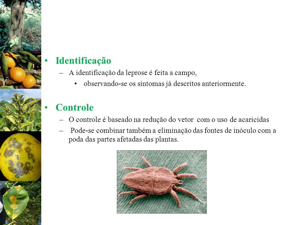 Identificação –A identificação da leprose é feita a campo, observando-se os sintomas já descritos anteriormente. Controle –O controle é baseado na red