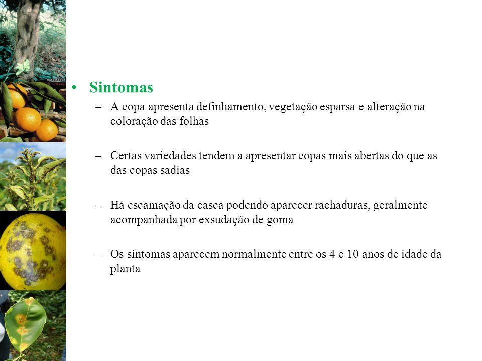 Sintomas –A copa apresenta definhamento, vegetação esparsa e alteração na coloração das folhas –Certas variedades tendem a apresentar copas mais abert