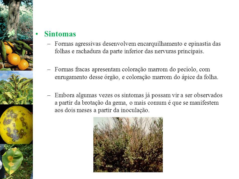 Sintomas –Formas agressivas desenvolvem encarquilhamento e epinastia das folhas e rachadura da parte inferior das nervuras principais. –Formas fracas